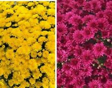 Sunny Shades Garden Mums/Belgian Mums Annual- Now 12Flowering Plants/Plugs Combo