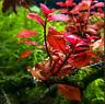 LOW TECH Aquarium Plant Ludwigia Repens (Dark Red) Buy2 Get1 FREE