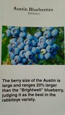 4'-5' Austin Blueberry Plant Sweet Healthy Plants Blueberries Amino Acids Berry