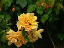 'Maigold' Fragrant Hardy Climbing Rose,Beautiful Golden Coppery Orange Blooms