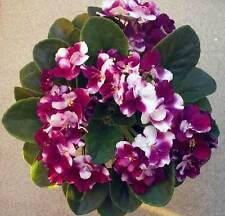 ☘ MAC'S SOUTHERN SPRINGTIME ☘ SEMI-MINI ☘ African Violet Plant ☘ Plug 2005