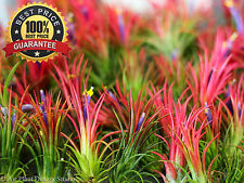 ~ 100++ PCS Air plant Seed Tillandsia Seed Tillandsia Ionantha Seed Soilless ~