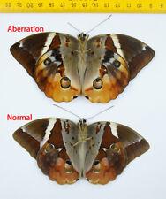 BUTTERFLY - Thauria aliris pseudaliris (Aberration) - MALAYSIA - 0077