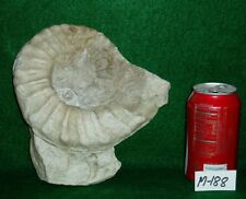"Large Size, Rare 7-3/4"" Texas Fossil Ammonite ,Dinosaur Age, Cretaceous-M188"