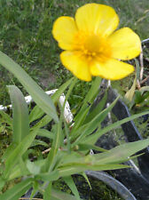 "6 pieds"" ranunculus linga grandiflora"" plante aquatique de bassin-bordure -pot"