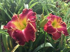 Daylily Rockets Bursting In Air hemerocallis Perennial ~ Df or 2 Plants