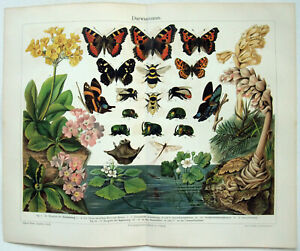 Examples of Evolution - Original 1905 Chromo-Lithograph by Meyers. Butterflies