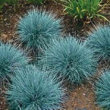 50+ Festuca Fescue Blue / Oramental Grass / Perennial Flower Seeds