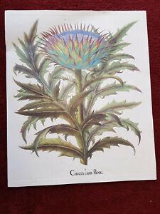 Tavola botanica dell'Hortus Eystettensis ABOCA stampa quadro CINERA CUM FLORE