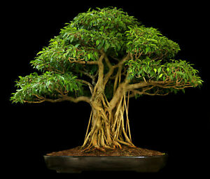 Ficus religiosa (Bodhi Peepal Tree) 25 Seeds   RARE House Plant Indoor Bonsai UK