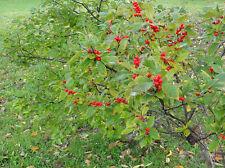 ILEX VERTICILLATA 30 semi seeds Agrifoglio del Canada Winterberry
