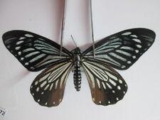 PA1472.Unmounted butterfly .Papilio epycides imitata, Female, South Vietnam.