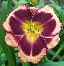 Daylily Plant LAND OF NOD 2 Fans Perennial Selman Peach Rose Burgandy Flower