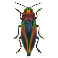 Cyphogastra javanica blue red rainbow buprestid beetle Java Indonesia packaged