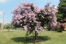 35+ Crape Myrtle Tree Seeds /  Perennial  / Light Pink
