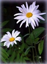 Shasta Daisy - (Chrysanthemum Maximum) - 200 seeds