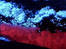 KB: LARGE MUSEUM SPECIMEN of SCHEELITE CRYSTALS FL. BLUE & CALCITE FL. RED UTAH