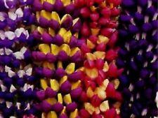 6 LUPINS POLYPHYLLUS 'TUTTI FRUTTI' - HP - MEDIUM PLUG PLANTS