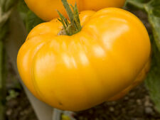30 YELLOW BRANDYWINE TOMATO 2018 (all non-gmo heirloom vegetable seeds!)