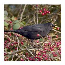 Blackbird Sound Card - plays beautiful birdsong when opened!