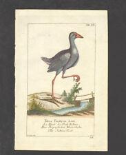 18th c. etching - Fulica Porphyria Linn