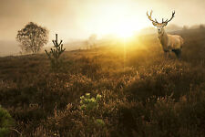 STUNNING CANVAS SCOTTISH RED DEER STAG #29 WILDLIFE WALL HANGING PICTURE ART A1