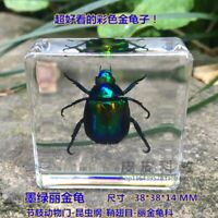 1pcs Insect Specimen in clear Resin Paperweight Chafer Specimen