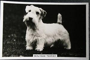 Sealyham Terrier  1930's Original Vintage Photo Card # VGC