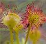 New Rare Colorful Drosera Peltata Potted Plant Circular Sundew Carnivorous Plant