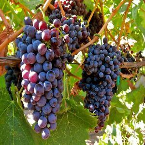 Grape Vine Seeds (Vitis vinifera) 30+Seeds