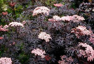 Sambucus 'Black Frills' - 20 Seeds - Hardy Shrub