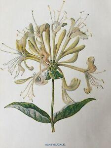 ANTIQUE PRINT C1900 HONEYSUCKLE WILD FLOWERS BOTANY BOTANICAL PLANTS FLOWER ART