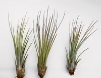10 Pack Tillandsia Juncea Wholesale Air Plants