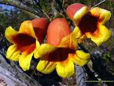 4 graines Bignone Café Cacao Persistante(Bignonia Capreolata)H181 CROSSVINE SEED
