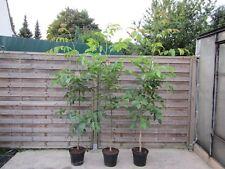 Juglans nigra - Schwarznussbaum -  Winterharte Pflanze 150-180cm - Walnussbaum