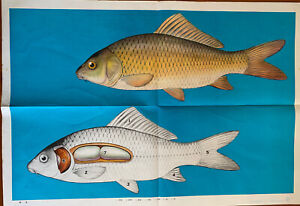Vintage Chinese Poster - Carp Fish Anatomical - 1970s / 80s
