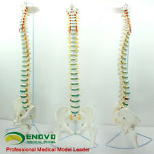 11 Bendable Human Spinal Pelvis And Femoral Model