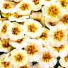 100 PCS Seeds Rare Superbells Frostfire Calibrachoa Petunia Flowers Bonsai 2019