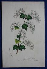 Genuine antique botanical flower print RIBES ALBIDUM van Houtte c.1860