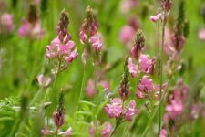 British Wild Flower -  Onobrychis - Sainfoin - 500 Seed - Large Packet