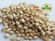 500+ white Quinoa Seeds, Chenopodium quinoa by Prorganics
