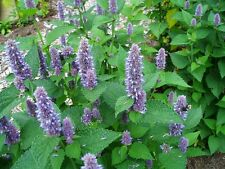 Lavender Hyssop Flower Seeds - Garden Seeds - Bulk