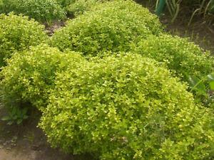 Thyme Golden 2 litre pot - ready to harvest
