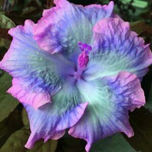 20 Blue Pink Purple Hibiscus Seeds Perennial Flowers Flower Seed 132 US SELLER