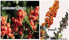 Orange Pyrancantha Bush Perennial Thorn Berry Bush/Shrub 25 Seeds