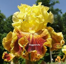 "Tall Bearded ""French Riviera"" Iris - Heavily Ruffled Beauty '09 * Plant Pre-Sale"