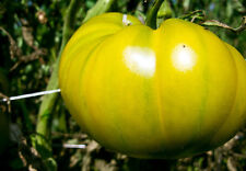 Cherokee Green Tomato - Unusual, Great Beefsteak Type Tomato with Great Flavour!
