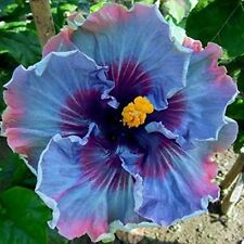 20  FAIRY DUST HIBISCUS * SEEDS *FLOWERING SHRUBS BUSHES ROSE OF SHARON SALE