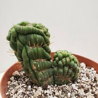 Rare Eulychnia castanea varispiralis crested cactus cacti succulent live plant E
