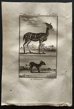 1799 - Buffon - Le guib / Le chevrotain - Gravure zoologie